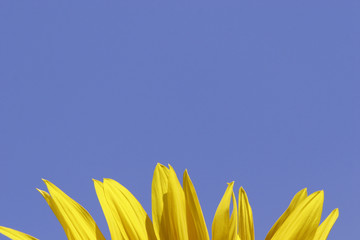 Bright Sunflower Petals Against Clear Blue Sky with Copy Space