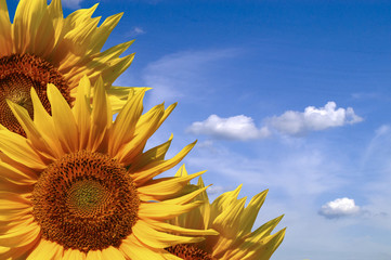 An image of yellow sunflowers on blue background