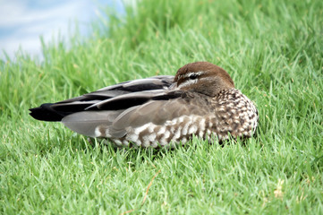 Australian Wood Duck female