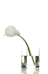 calla in vase isolated on white