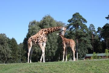 Fotoväggar - Giraffe