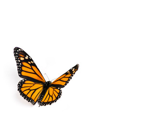 Monarch Butterfly on White Background