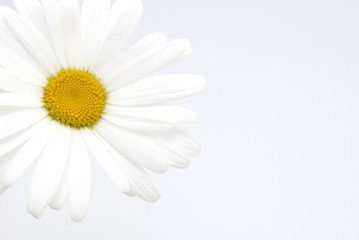 beautiful daisy flower on a white background