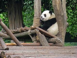 China Sichuan Giant Panda 05