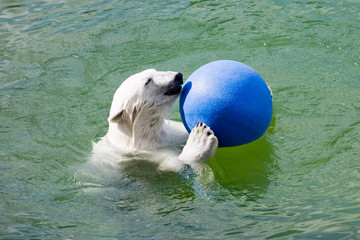 big polar bear playing with blue ball in water