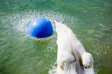 big polar bear jumping in water with ball