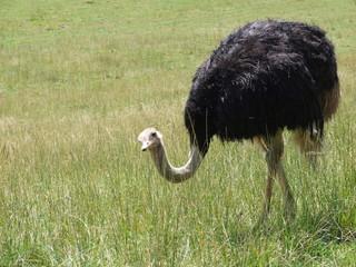 avestruz mirando