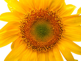 Sunflower Closeup 2