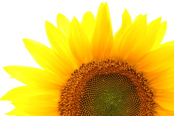 Beautiful single sunflower isolated over white