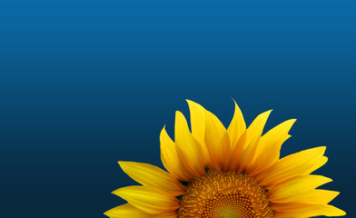 Sonneblume blauer Himmel