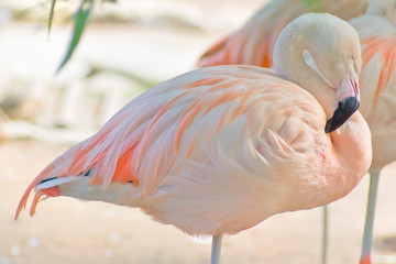Roze flamingo. Close-up in bleke tinten. Met uitknippad