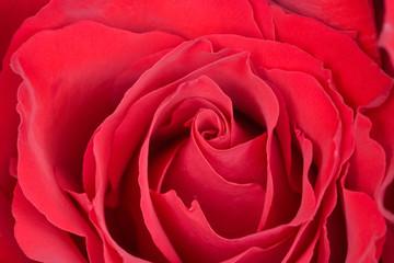 Macro of a Red Rose
