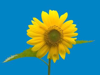 sunflower on the blue sky