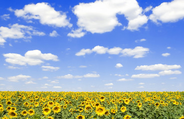 field of sunflowers and blue sky background