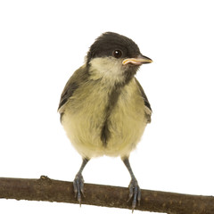 Parus major (6 weeks) in front of a white background