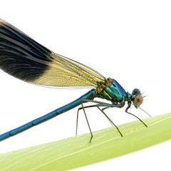 Banded Demoiselle in front of a white background
