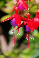 Fuchsia close up