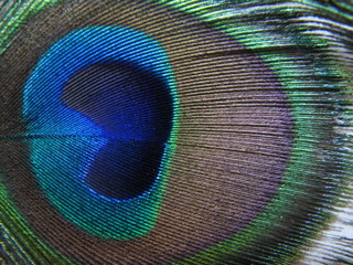 An eye from a peacock's tail