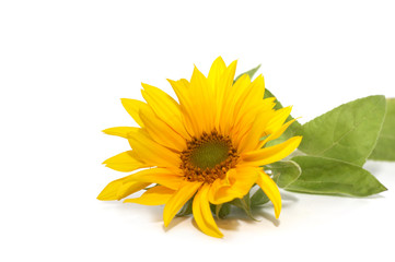 Flower of a sunflower on a white background