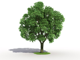 3d rendering of an isolated elm tree