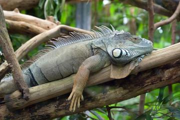 Sunbathing iguana in Zurich Zoo
