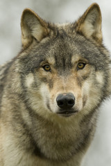 North American Wolf Portrait