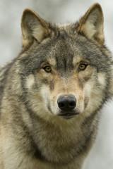 North American Wolf Portrait
