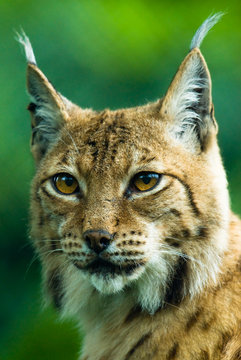 Portrait of a Lynx. Focus is on the eyes.