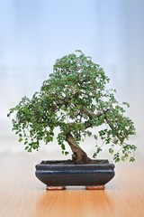 Green bonsai tree in pot over blue background
