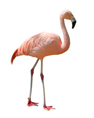 Red caribbean flamingo isolated on white background.