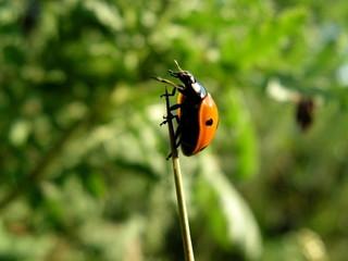 ladybug. Close-up