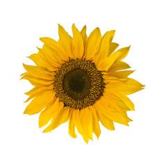 single blossom of sunflower isolated on white background