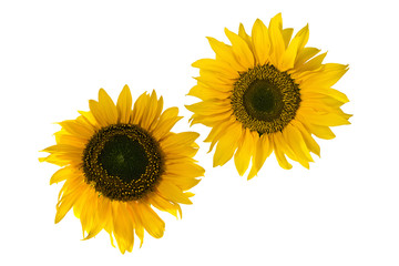 two sunflowers resembling gears, isoalted on white
