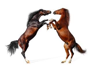 battle horses - isolated on white