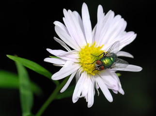 Green fly on camomile flower