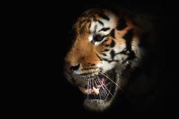 tiger on a black background