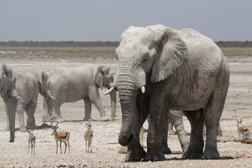 Elefanten und Springböcke im Etosha-Nationalpark, Namibia