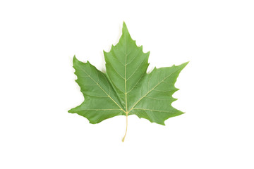 Green leaf maple isolated on white