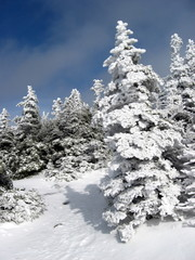 Snow and Ice covered Trees