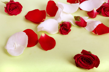 Red and white rose petals and heads on pastel background