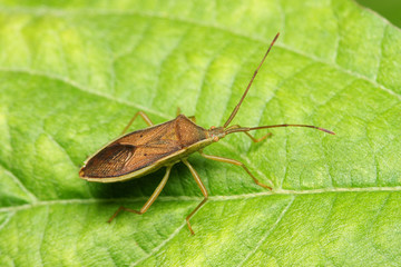 A shield bug standing on the green leaf.