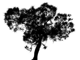 "silhouette d'acacia hétérophylla, ""tamarin des hauts"""