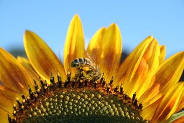 Miel de tournesol (abeille de profil)
