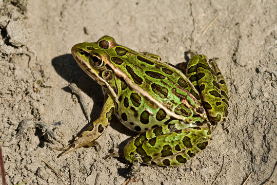 A northern leopard frog sits on some dirt.