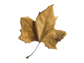 A single autumn leaf isolated over a white background.