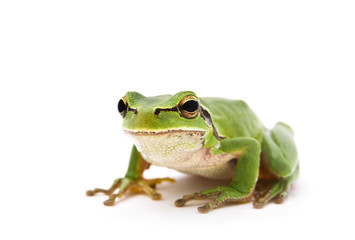 Green Tree Frog isolated on white background. Shallow DOF..