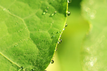 Water drops on the edge of a leaf at morning dew