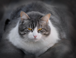 cat sitting gray and white