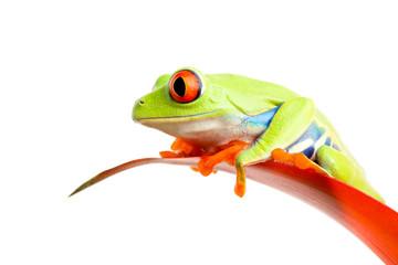 red-eyed tree frog (Agalychnis callidryas) on plant isolated
