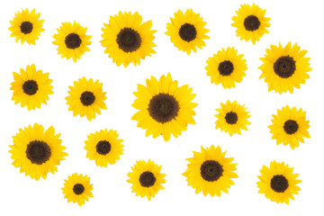 Collection of sunflowers isolated on white background